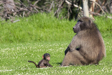 Male baboon and his baby offspring