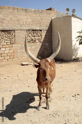 mucca africana