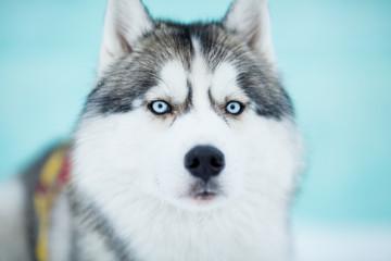 Siberian husky sled dog closeup portrait