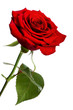 Single red rose, isolated on a white background