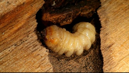 Holzwurm, Holzbock Larve im Stamm eines Baumes