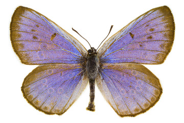 Phengaris arion (Large blue)