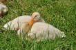 Two ducklings on the grass