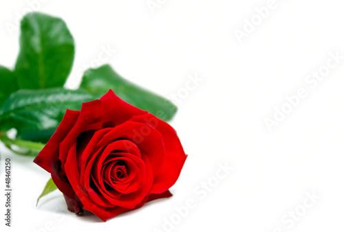 Rose mit Textfreiraum f. Valentins-/Muttertag/Hochzeit