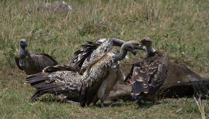 Avvoltoi su Gnu