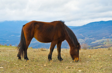 Grazing horse. Winter in Crimea, Ukraine