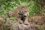 A Jaguar Watches His Prey Intently