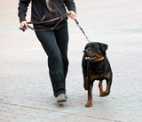 Rottweiler and master walk with a leash