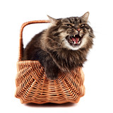 Mewing a fluffy cat in a wattled basket poster