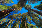 Trees and blue sky at Mariposa Grove, Yosemite Valley