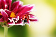 Ladybug on beautiful flower on green background