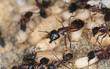 Carpenter ant, Camponotus herculeanus, rescuing egg