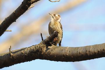 日本の野鳥 コゲラ