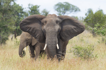 African Elephant (Loxodonta africana) female with young, South A