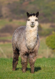 Male Alpaca in farm field