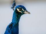 Fototapete Blau - Auge - Vögel