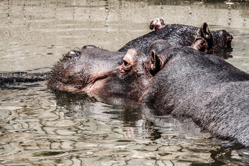 The hippopotamus (Hippopotamus amphibius),