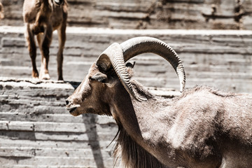 Two Spanish Ibex, male and female, lying on rocks