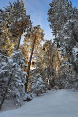 Tannen im Winter und warmen Abendlicht