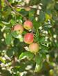 Red apples on apple tree