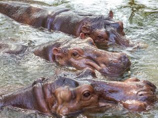 group of Hippopotamus
