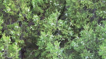 Juniper with berries.