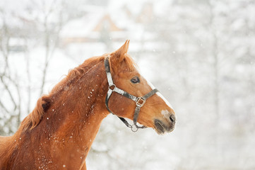 chestnut horse and a winter landscape