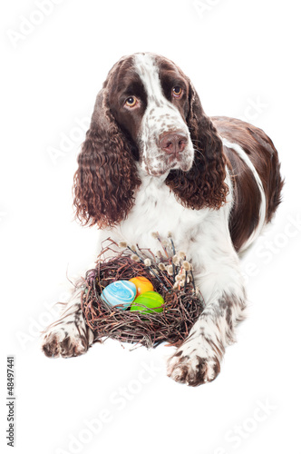 springer spaniel dog with easter eggs