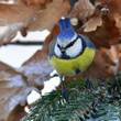 blue tit in winter time