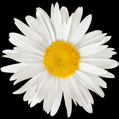 chamomile flower isolated on black background with clipping path