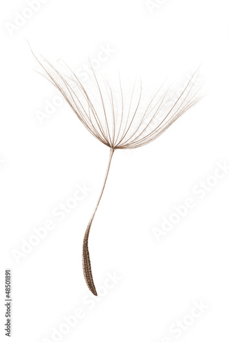 single dandelion seed isolated on white background - 48501891
