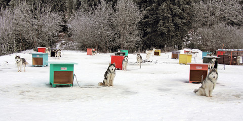 Sled dog team4