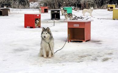 Sled dog team3