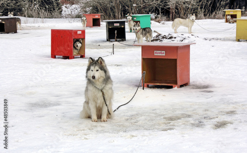 Sled dog team3
