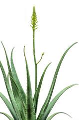 Blooming Aloe Vera isolated