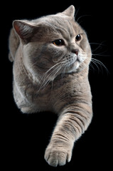 British Shorthair Cat Cutout