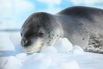 Seeleopard Antarktis