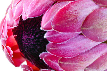 Pink protea flower close-up.