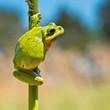 Wild Treefrog