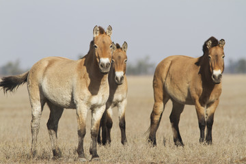 Herd of Przewalski's horses in the Ukrainian steppes.