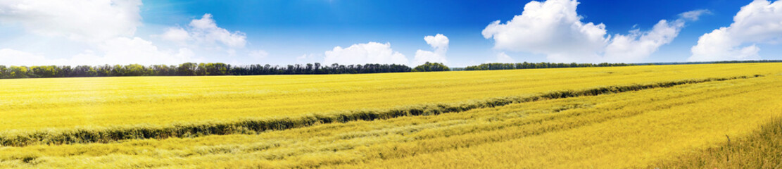 Field of rye and sunny day with cloudy sky.