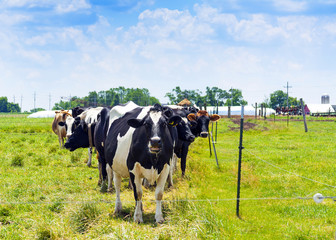 black and white cows on field