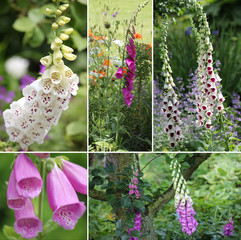 Fingerhut (lat. Digitalis) Collage