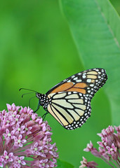 Monarch on Milkweed flower
