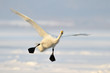 Whooper Swan in flight.