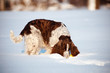 dog sniffing snow