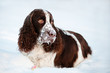 brown and white cute dog lying in the snow