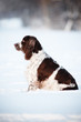 springer spaniel dog sitting outdoors