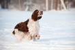 springer spaniel dog running in winter