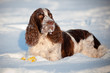 springer spaniel dog winter portrait